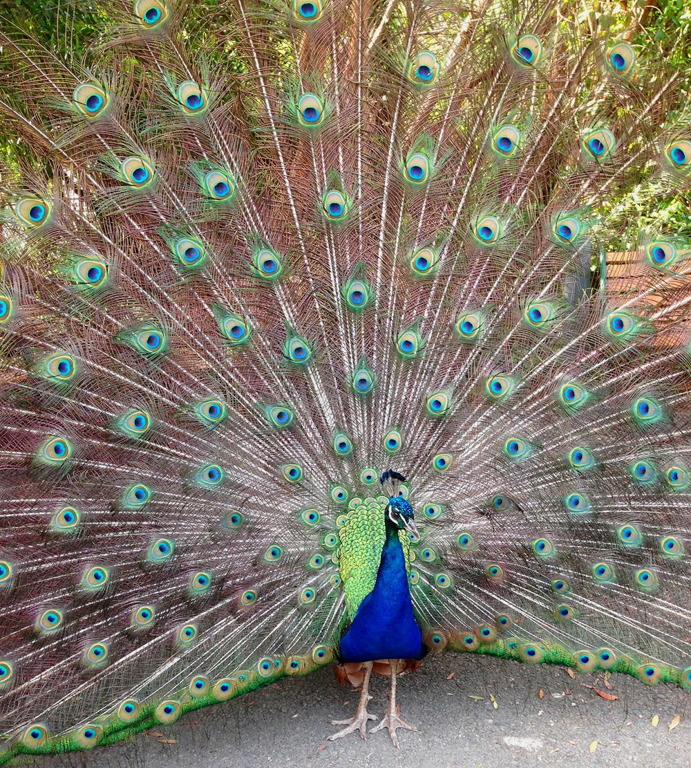 b_peacock1-photo